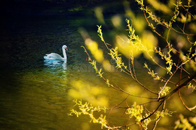 Swan in the spring pond. Swan swiming in the spring pond royalty free stock photography