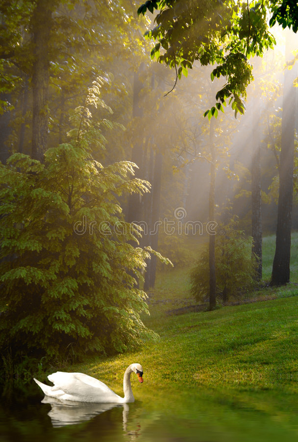 Download Swan And Streaming Sunshine On Foggy Morning Stock Photo - Image: 5839534