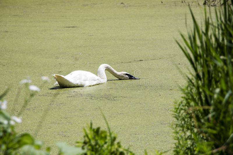 Swan Feeding in a Pond on a Hot Day royalty free stock photos