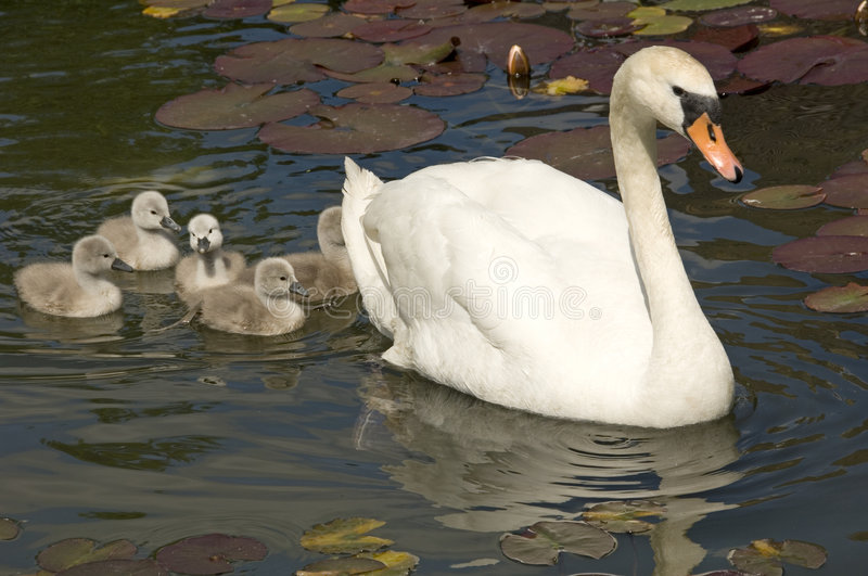 Swan Stroll Royalty Free Stock Photography