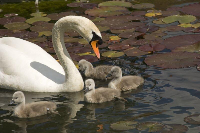 Swan stroll stock photos