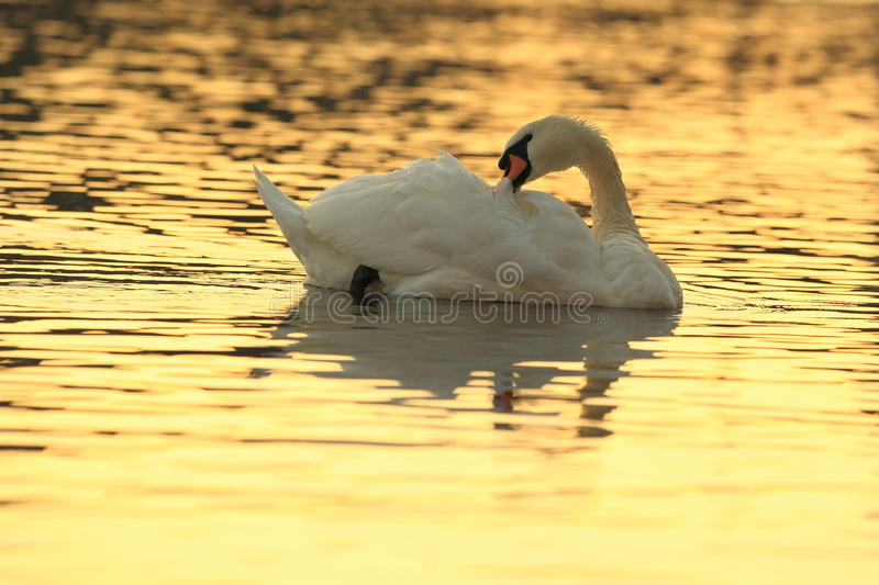 Download Swan in sunrise stock photo. Image of floating, animal - 36181188