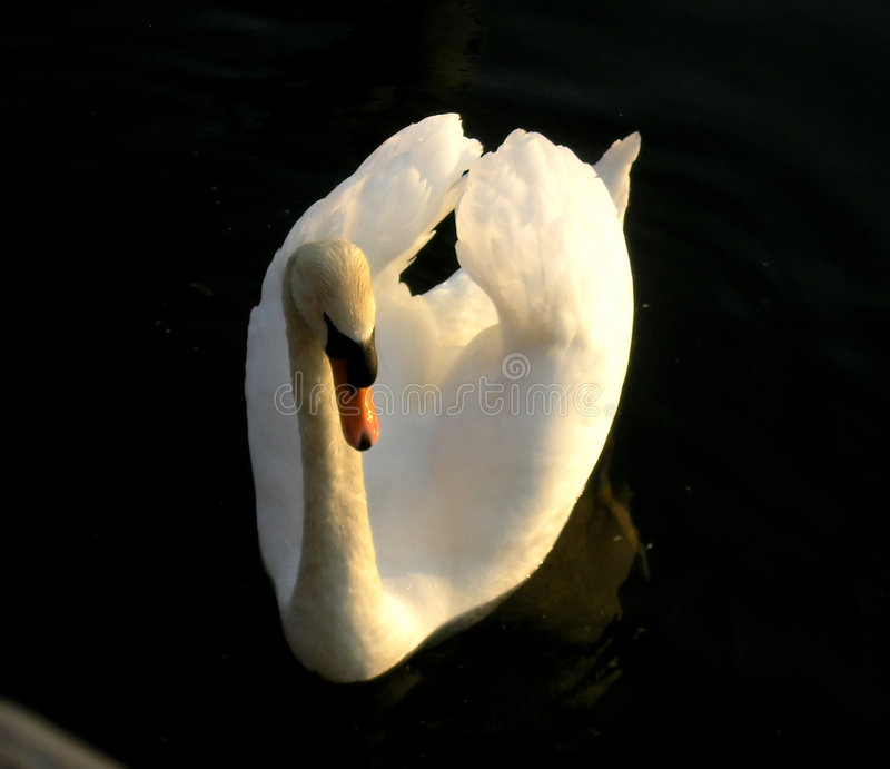 Swan at sunset royalty free stock photo