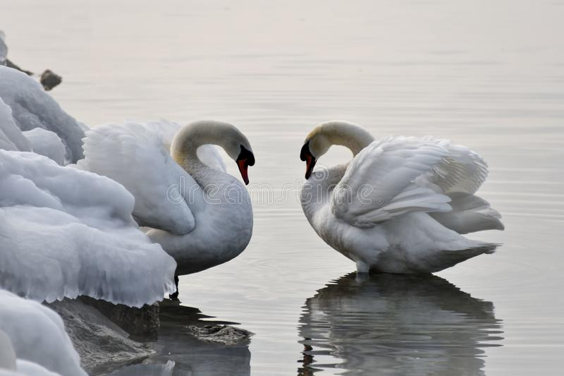 The swan stock photography