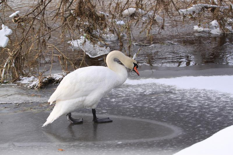 Swan. Walking near the river stock images