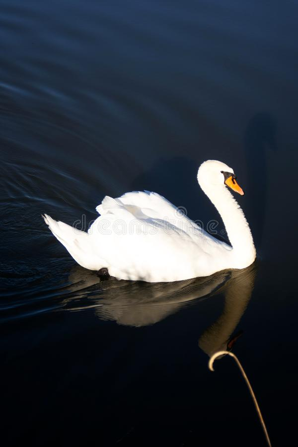 Swan swim on the pond and mirroring stock photography