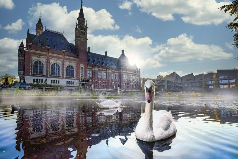 Swan swimming in Autumn mist. Swan swimming and protecting his female again intruders in front the peace palace looking for food, The Hague, Netherlands stock image