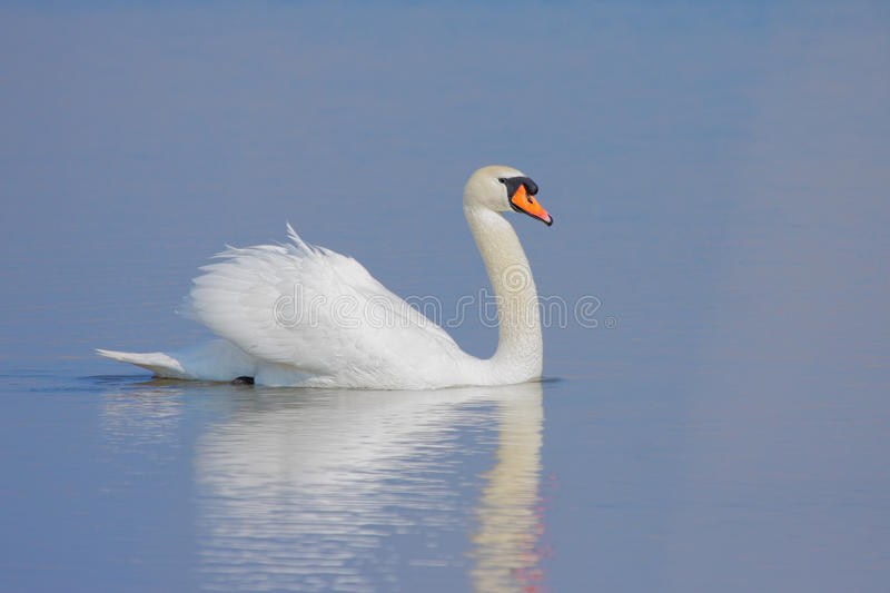 Download Swan stock image. Image of peacefulness, white, nature - 35381847