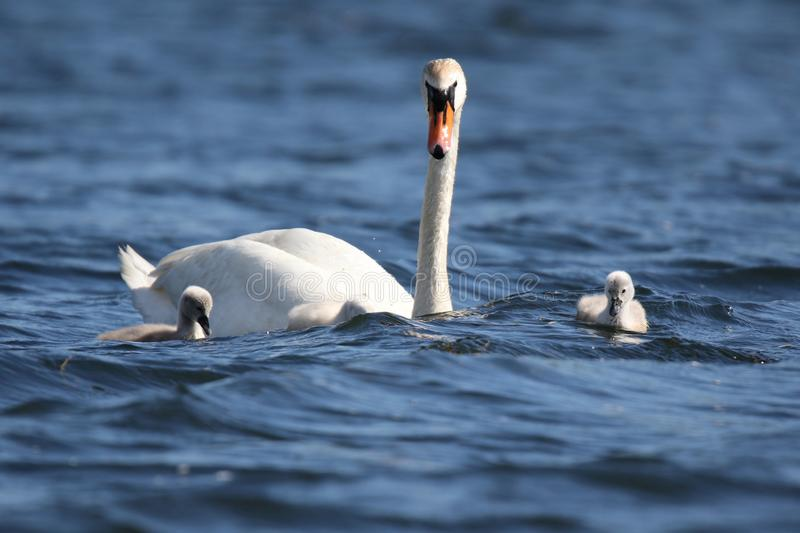 Swan Swimming with Cygnets  on a Windy Day royalty free stock photos