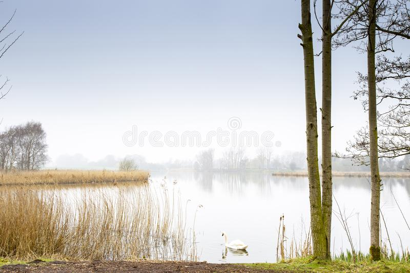 Swan swimming in early morning mist over lake in Cheshire England UK royalty free stock photos