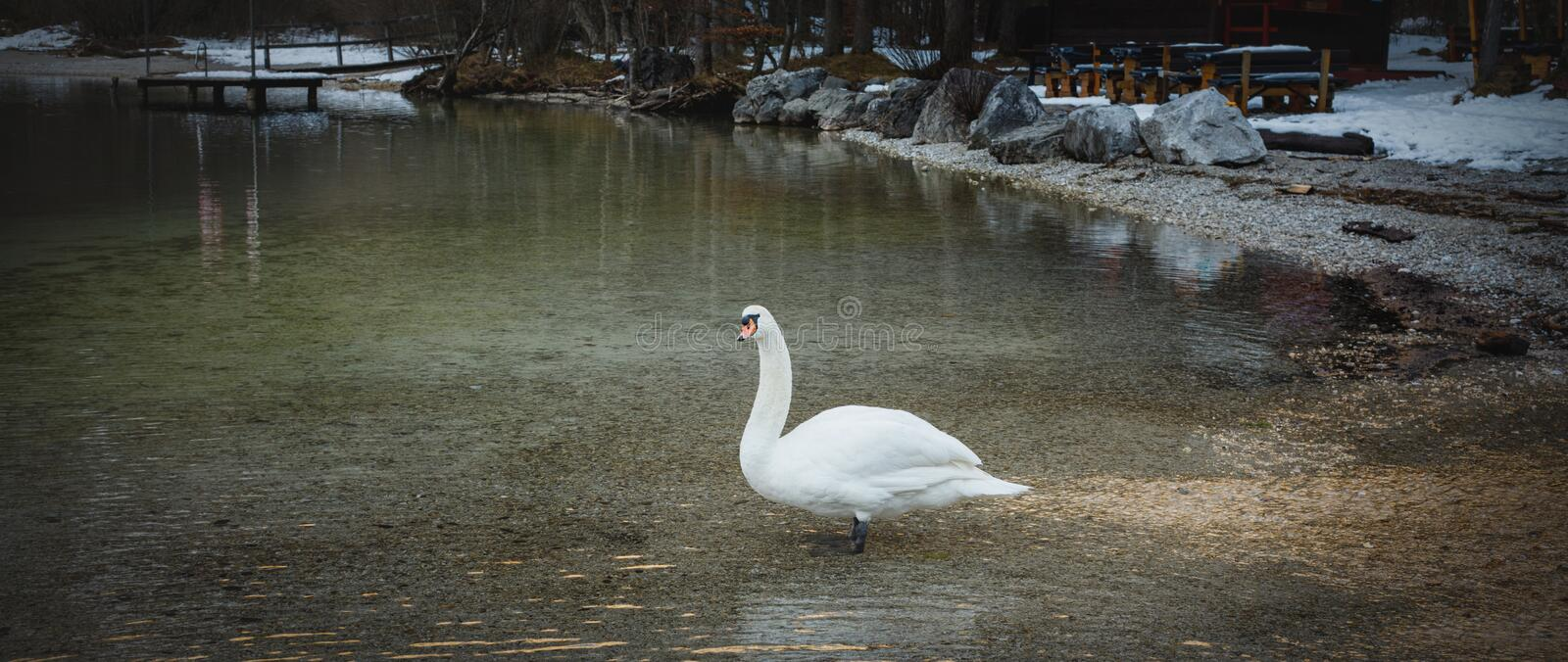 Swan swimming in a enormous river sea lake high in the alps in winter stock images