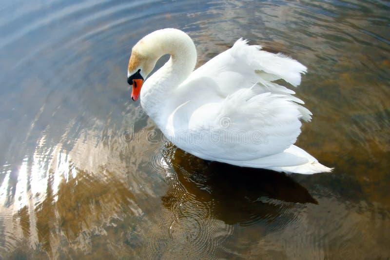 Download Swan stock image. Image of travel, swimming, beautiful - 30176389
