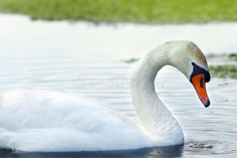 Download Swan Royalty Free Stock Photo - Image: 30176415