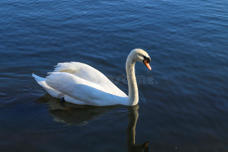 A Swan Swimming in a Lake royalty free stock photos