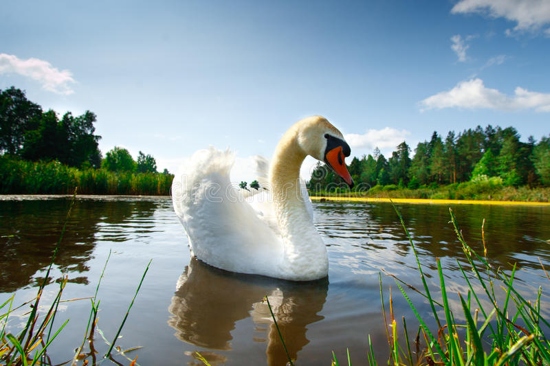 Download Swan stock image. Image of area, ripple, concepts, neck - 30175691