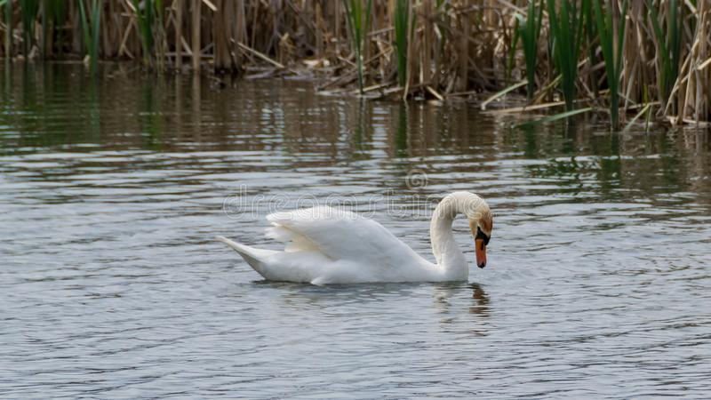 Swan swimming in the lake. White swan swims. Ripples on the water and dry reeds in the background royalty free stock photo