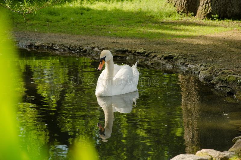 A swan is swimming in a pond. Reflection in water royalty free stock photography