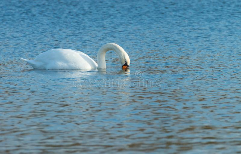 Swan swimming in a lake in winter stock images
