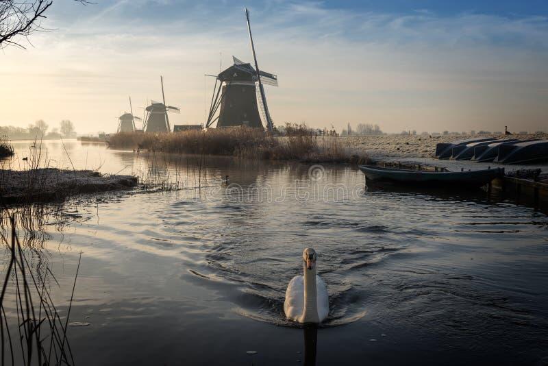 Swan swimming in a stream in a winter landscape stock photo