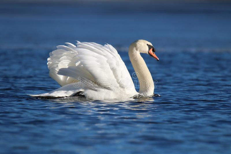 Swan Swimming on the Winter Lake stock photo