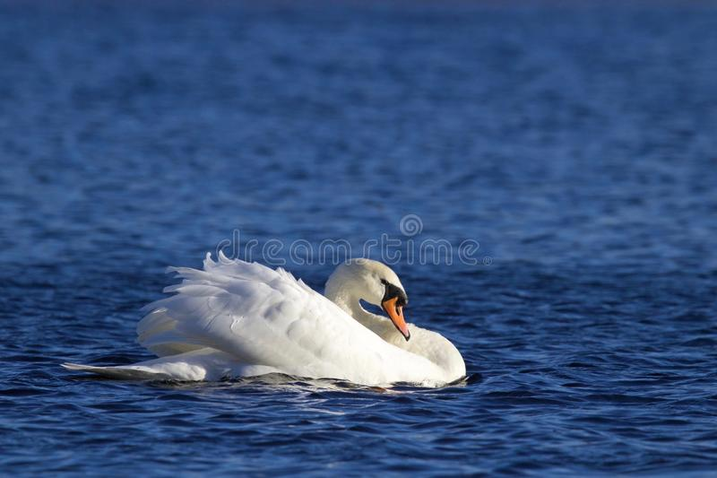 Swan Swimming on a Winter Lake. A mute swan Cygnus olor swimming on a blue lake in Winter. The swan is in threat posture, driving off last years young from the