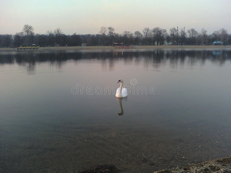 The swan swims across the lake on a cloudy day royalty free stock photo