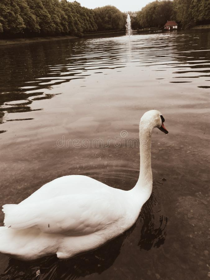 A swan swims in a lake with a fountain in the background royalty free stock image