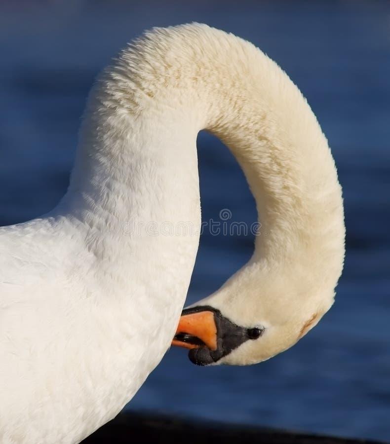 swan szyi zdjęcie stock