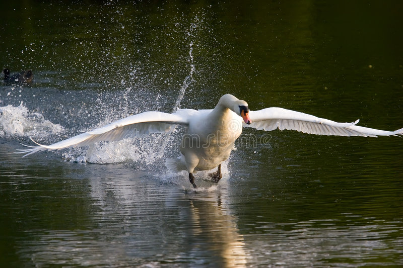 Swan Take Off royalty free stock images