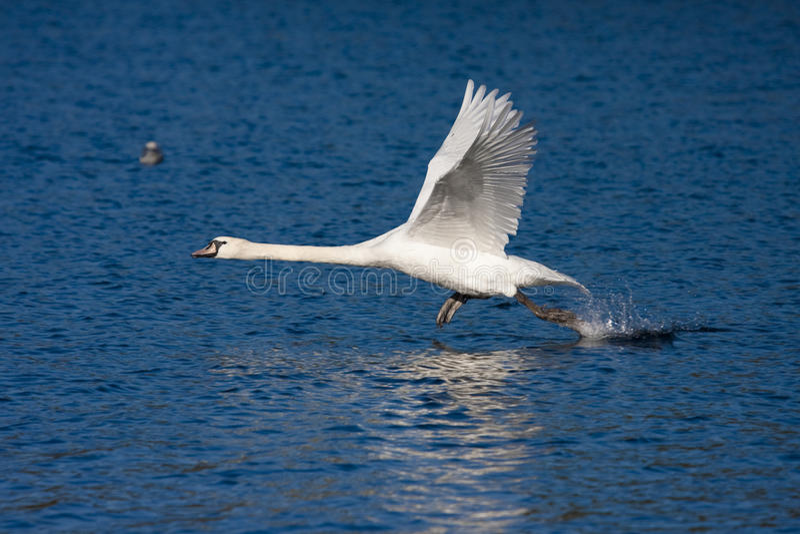 Download Swan taking off stock photo. Image of cygnus, avian, flying - 11713286