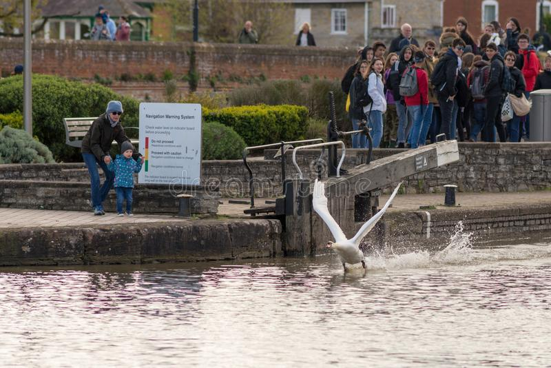 Swan taking off with crowd of onlookers and young boy looking surprised stock images