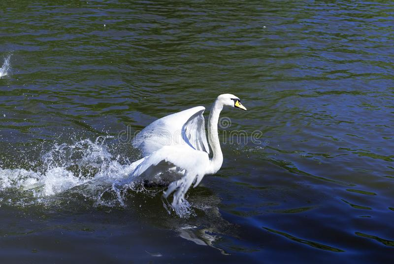 The swan taking off the lake royalty free stock photo