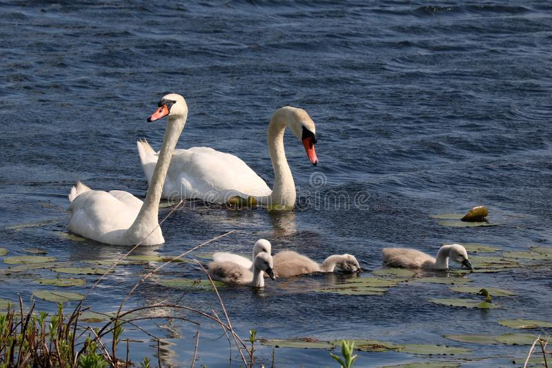 Swan Teamwork. Mute Swan parents work together as a team to care for their family of young cygnets on a lake. They need to protect their young from other birds