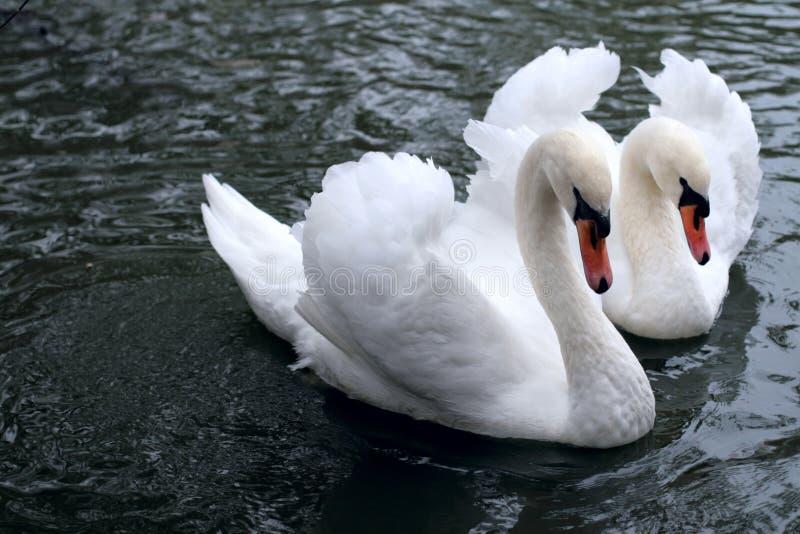 Swan Tenderness Stock Photo