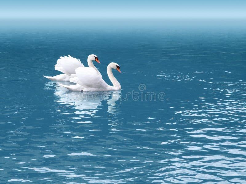 swan två royaltyfri bild