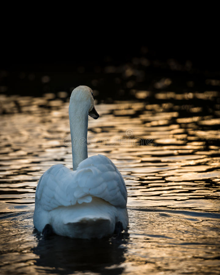 Swan at Twilight. Adult mute swan rear view on River Yare royalty free stock photo