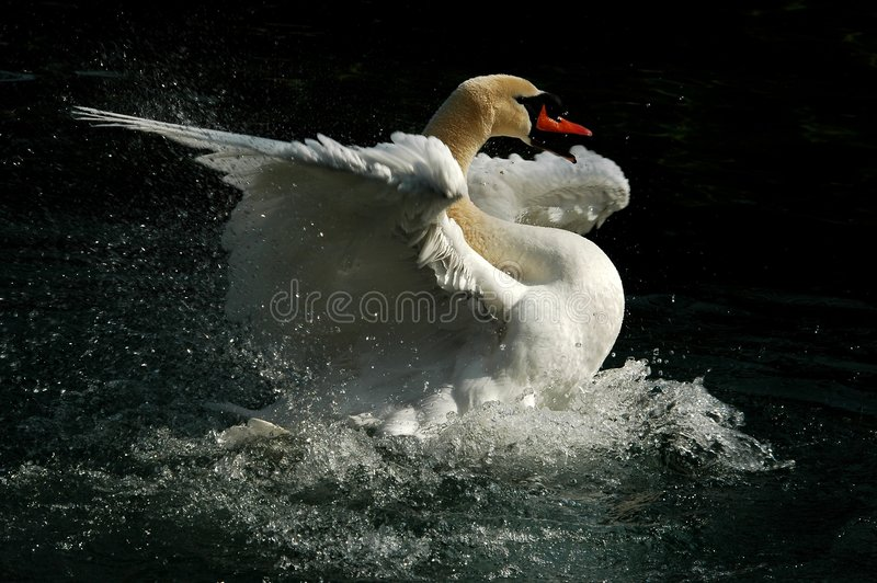 Swan the Tzar in a pond royalty free stock images