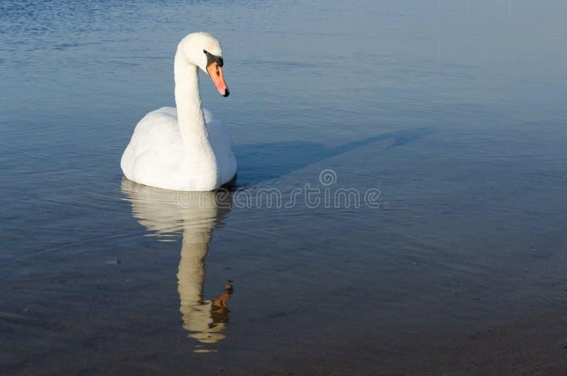 Swan under vintersäsongen royaltyfri foto