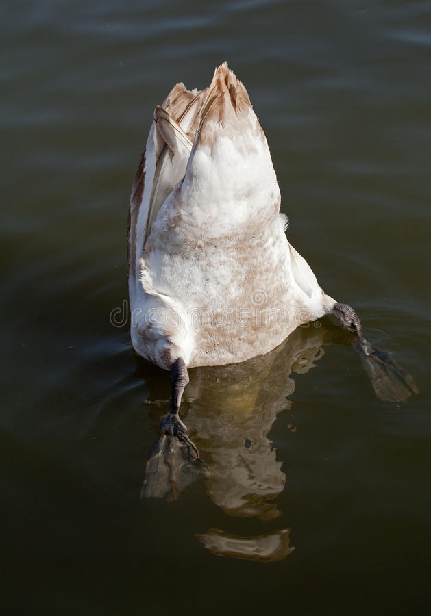 Swan Up royalty free stock photos