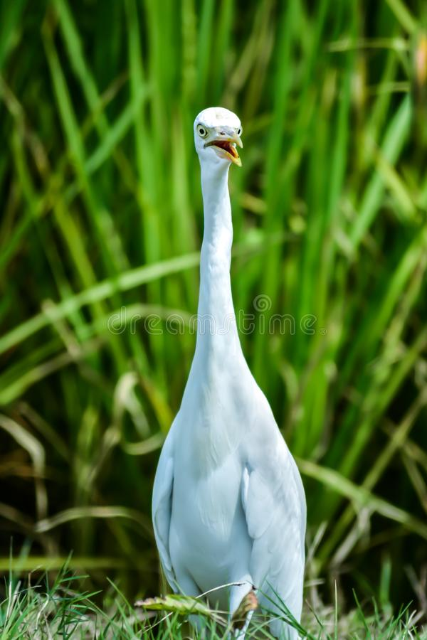 A swan in the village fields royalty free stock photos