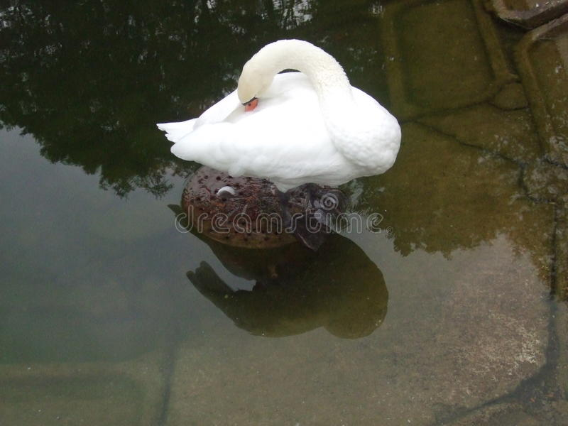 The swan warms its beak. Or how? royalty free stock photo