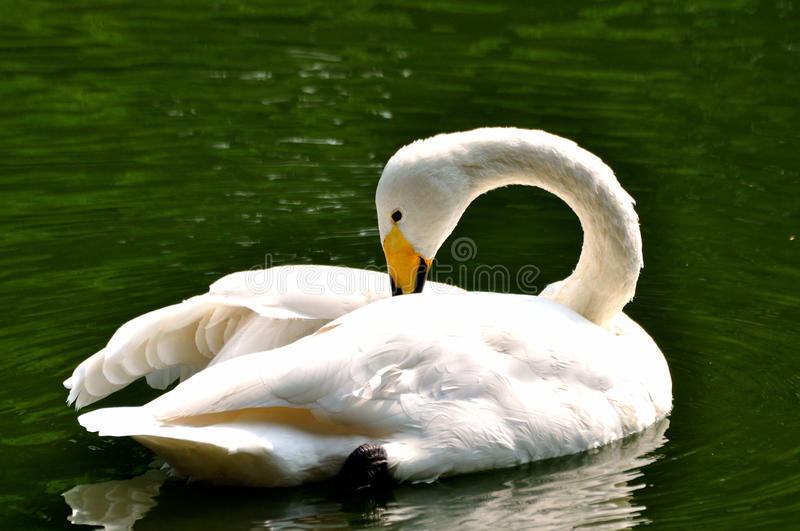 Swan in water stock photography