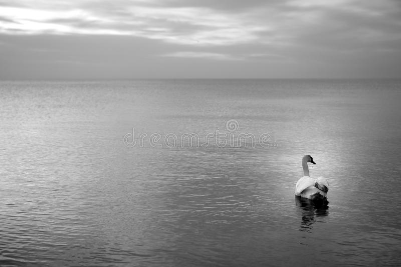 Swan on the water. A single swan on the water royalty free stock image