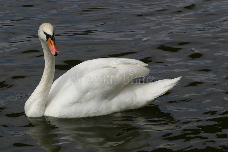 Download Swan in water stock image. Image of elegant, feathers, white - 168983