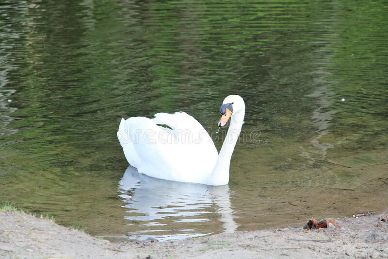 Swan in the water. Big birds royalty free stock image