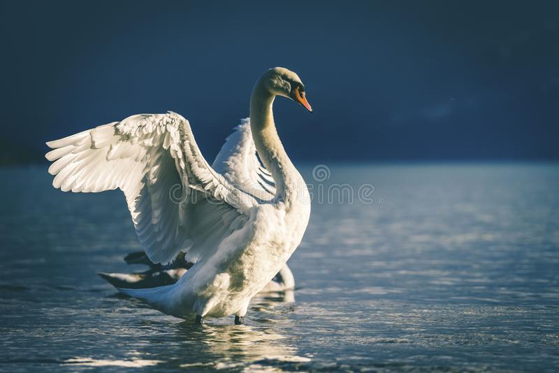 Swan, Water Bird, Bird, Beak Free Public Domain Cc0 Image