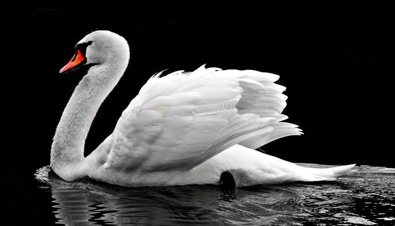 Swan, Water Bird, Bird, Ducks Geese And Swans stock photography