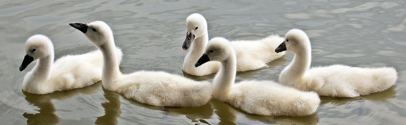 Swan, Water Bird, Bird, Fauna stock photo