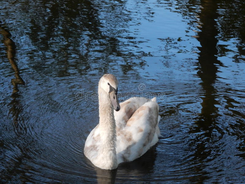 Swan in the water stock images