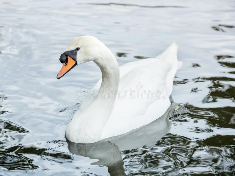 Swan in the water. Close up of swan in the water stock photos